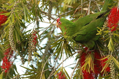 Red Faced Parrot