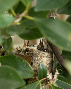 Baby Costa Hummingbirds in Nest with Mother Observing