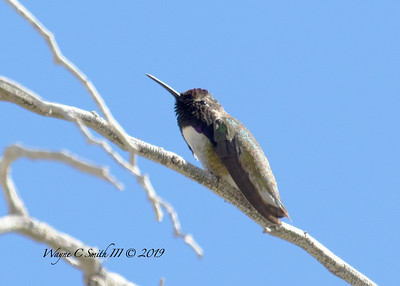 Male Costa Hummingbird, Resting in Heat of Day
