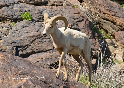 Big Horn Sheep, Young Ram