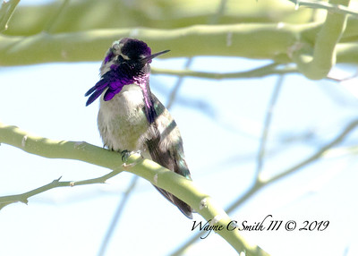 Male Costa Hummingbird Inviting the Females