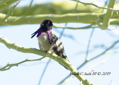 Male Costa Hummingbird Courts the Ladies