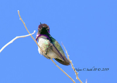 Male Costa Hummingbird Gives the Females a Show