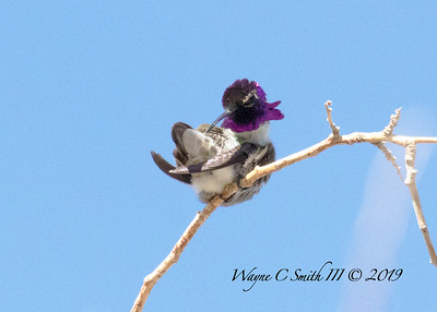 Male Costa Hummingbird Preening