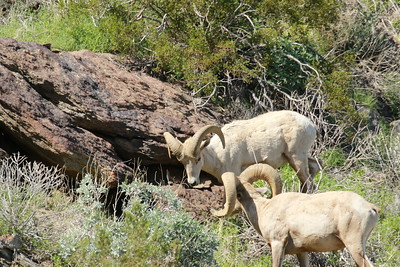 Big Horn Sheep Rams, Alfa and Subordinate Square Off