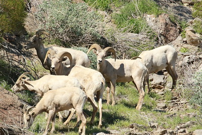 Family of Big Horn Sheep Grazing