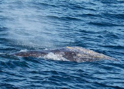 Grey Whale Stare Down