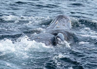 Grey Whale Back Stroke