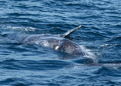 Grey Whale on Back