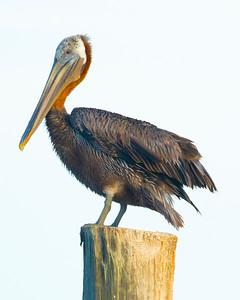 Brown Pelicans, post breeding season