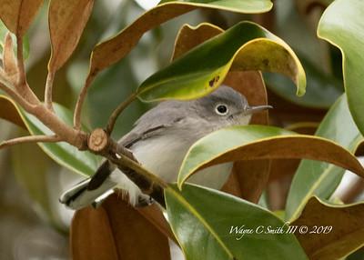 Blue Grey Gnatcatcher, Orlando FL