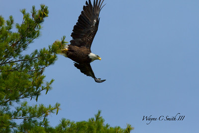 Bald Eagle on Wilson Lake ME