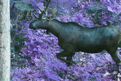 Bull Moose Velvet Antlers