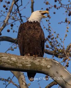 Bald Eagles Nesting