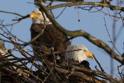 Bald Eagles Nesting Male and Female