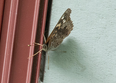 Male Hackberry Emperor