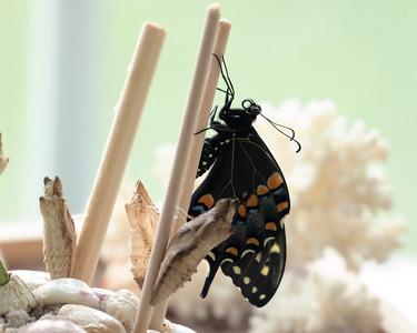 Newborn Female Black Swallowtail Butterfly
