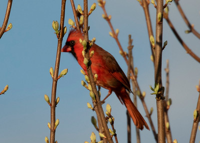 Male Northern Cardinal in Spring