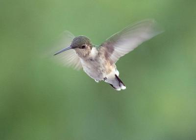 Immature Ruby Throated Hummingbird