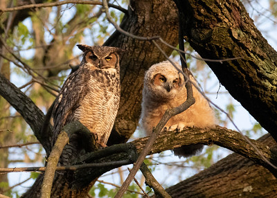 Great Horned Owl and an Owlet