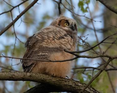 Great Horned Owl Owlet