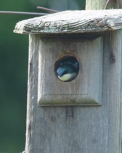 Tree Swallow guarding a blue bird box