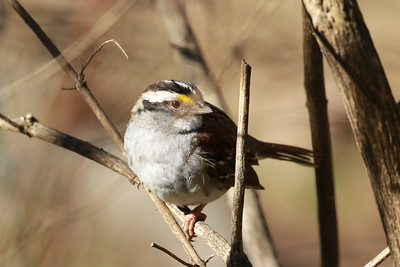 Male Yellow Crowned Sparrow