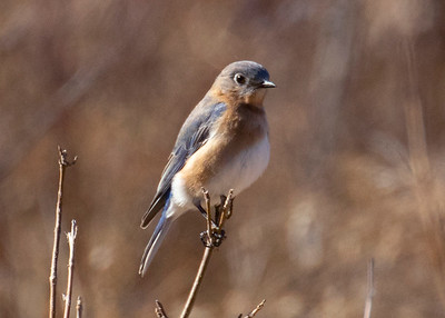 Blue Bird in Field on Forest Trail