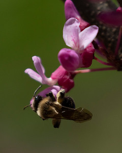 Bumble Bee & Spring Flowers