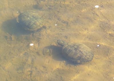 Turtles on Lake Bottom in Spring Sun