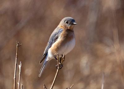 Blue Bird in Field on Forest Trail