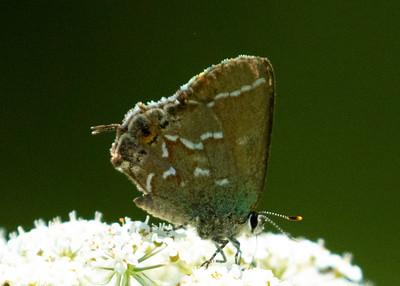 Juniper Hairstreak Butterfly Feeding on Queen Ann's Lace