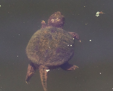 Alligator Snapping Turtle Swimming