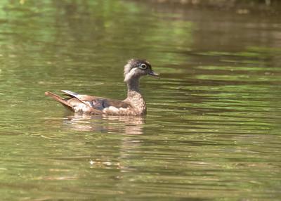 Immature Female Wood Duck Swimming