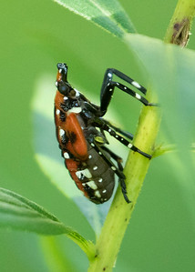 Spotted Lantern Fly Red Inset Phase