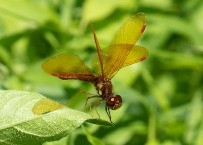 Red Veined Darter Dragonfly