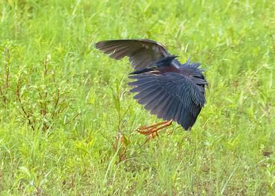 Green Heron Hunting