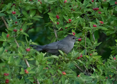 Catbird Eating Berries