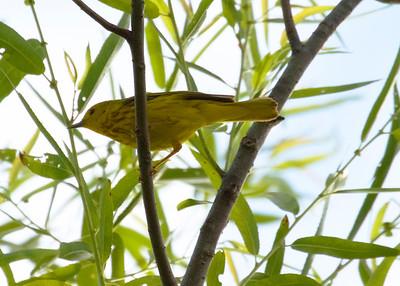 Male Yellow Warbler Feeding