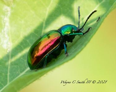 Female Dogbane Beetle