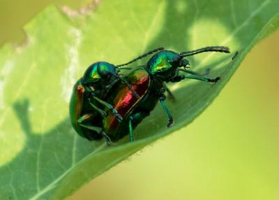 Dogbane Beetle Mating