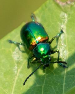 Male Dogbane Beetle