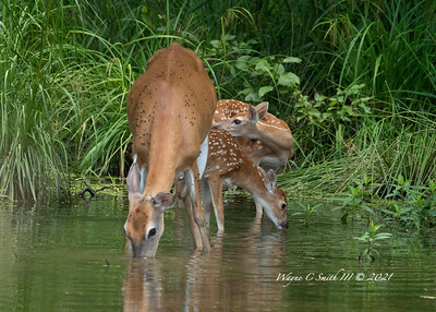 Doe and Fawns