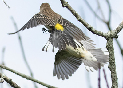 Yellow Rumped Warbler Myrtle