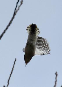 Downy Woodpecker Flying