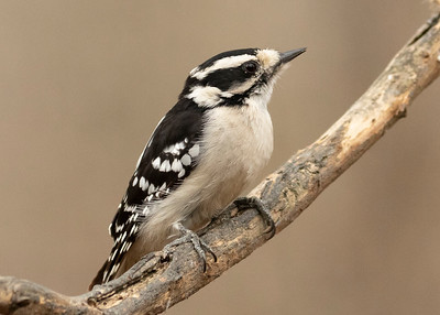 Female Down Woodpecker