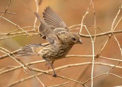 Female House Finch Flying