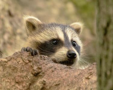 Raccoon peering from home in tree
