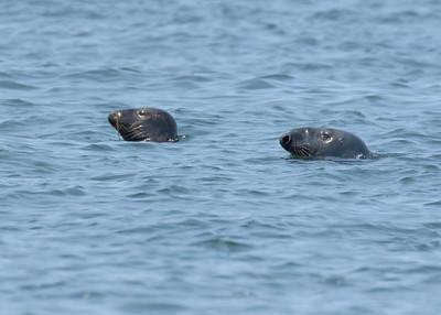 Male and Female Block Island Seal