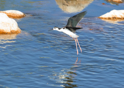 Black Necked Stilts